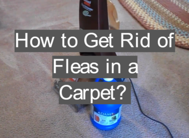 How to Get Rid of Fleas in a Carpet?